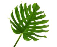 Fresh tropical monstera leaf. On white background stock photo
