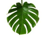 Fresh tropical monstera leaf. On white background royalty free stock photo