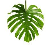 Fresh tropical monstera leaf. On white background royalty free stock photos