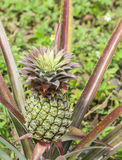 Fresh tropical pineapple on the tree in farm Royalty Free Stock Photos