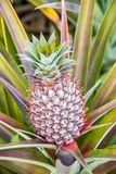 Fresh tropical pineapple on the tree. Stock Image