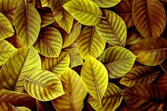 The   Fresh tropical Yellow Green leaves background. Fresh tropical Yellow Green leaves background Royalty Free Stock Photography
