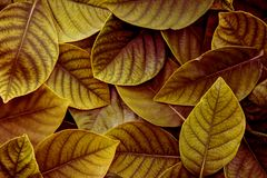 The   Fresh tropical Yellow Green leaves background. Fresh tropical Yellow Green leaves background Royalty Free Stock Photo