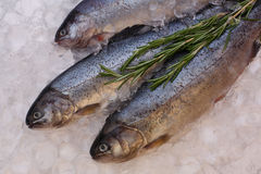 Fresh trout fish on ice Stock Images