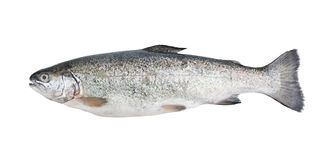 Fresh trout fish isolated royalty free stock image