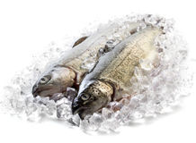 Fresh trout on ice Royalty Free Stock Images