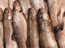Fresh trout on ice, catch, fish on market, close up royalty free stock photo
