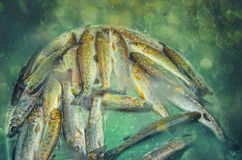 Fresh trout. Struggling in a green container Royalty Free Stock Image