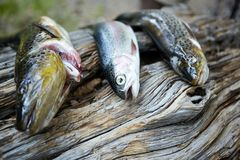 Fresh trouts lying on tree trunk. Close up view of fresh caught trouts lying on tree trunk Stock Images