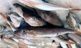 Fresh Tub gurnard for sale in fish market Stock Photos