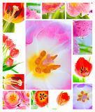 fresh tulip Royalty Free Stock Photography