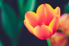 Fresh tulip. Beautiful fresh tulip vintage style Stock Image