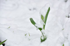Fresh tulip flower in a garden under snow in April stock image