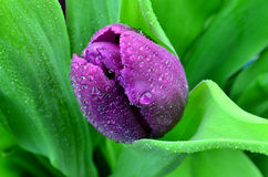 Fresh tulip flower royalty free stock photo