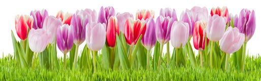 Fresh Tulip Flowers Isolated Stock Image
