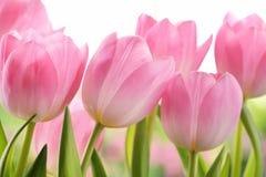 Fresh tulip flowers Stock Photo