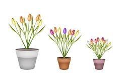 Fresh Tulip Flowers in Three Terracotta Pots Royalty Free Stock Photography