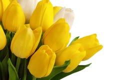 Fresh tulip flowers on white background Royalty Free Stock Photos
