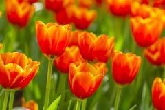 Fresh tulip Royalty Free Stock Images