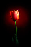 Fresh tulip Stock Image