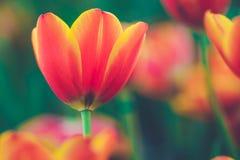 Fresh tulip vintage style. Beautiful fresh tulip vintage style Royalty Free Stock Photo