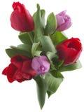 Fresh tulips Stock Photo