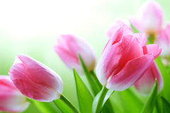 Fresh Tulips Stock Photography