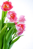 Fresh tulips Stock Image