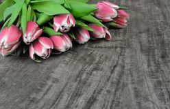 Fresh tulips Royalty Free Stock Image