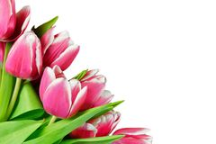 Fresh tulips Stock Photos