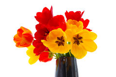 Fresh tulips Royalty Free Stock Images