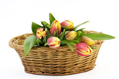 Fresh tulips in a basket Royalty Free Stock Images