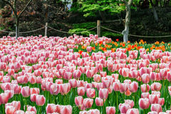 Fresh tulips blooming in the spring garden Royalty Free Stock Photo