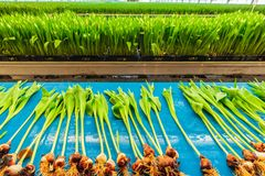 Fresh tulips on a blue conveyor belt in a Dutch greenhouse Royalty Free Stock Image