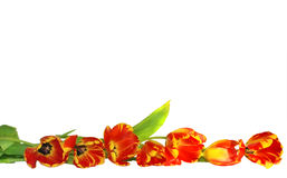 Fresh tulips border Royalty Free Stock Photography