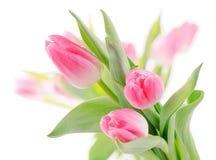 Fresh  tulips Royalty Free Stock Image