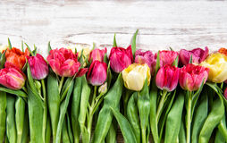 Fresh tulips. Closeup of spring flowers Stock Images