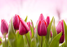 Fresh Tulips with Dew Drops Royalty Free Stock Photos