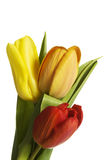 Fresh tulips flowers. Royalty Free Stock Photo