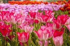 Fresh tulips in garden. On sunset stock photos