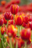 Fresh tulips in garden. On sunset stock photography