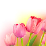 Fresh Tulips on Gentle colors Holiday Background Stock Image
