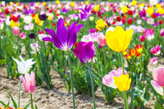 Fresh tulips grow at the flower Royalty Free Stock Photography