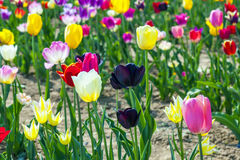 Fresh tulips grow at thefield Royalty Free Stock Photography