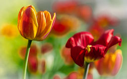 Fresh tulips Royalty Free Stock Photos
