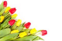 Fresh tulips isolated on white background Stock Images