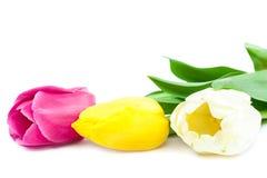 Fresh tulips isolated on white background. Stock Image