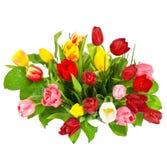 Fresh tulips isolated on white background Royalty Free Stock Image