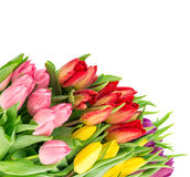 Fresh tulips over white background. pring flowers Royalty Free Stock Photos