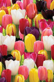 Fresh tulips Royalty Free Stock Photo